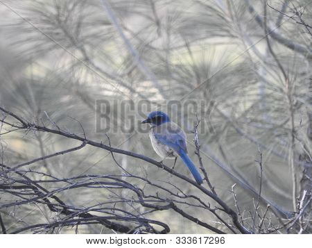 Western Scrub Jay, Sespe Wilderness, Los Padres National Forest, Ventura County, California.