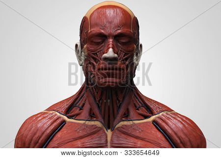 Human Body Anatomy Of The Man - Muscles Structure Anatomy Of A Male, Front View Side View And Perspe