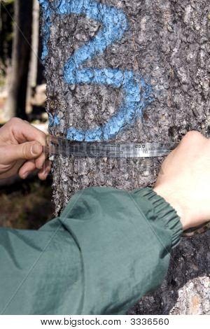 Hands Holding  Tape For Spruce Tree Diameter Measurement