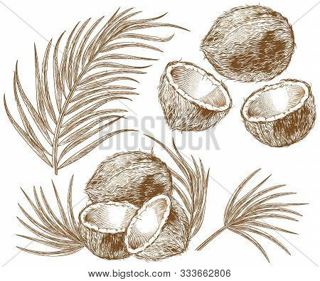 Engraved Illustration Of Coconuts And Palm Leaves. Vector Hand Drawn Sketch Of Tropical Food And Pla