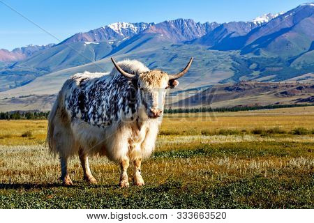 White & Black Yak In Alpine Mountains. Himalayan Big Yak In Beautiful Landscape. Hairy Cattle Cow Wi