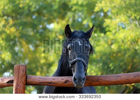 Beautiful Young Andalusian Stallion Heard The Mares In Autumnal Corral Nearby