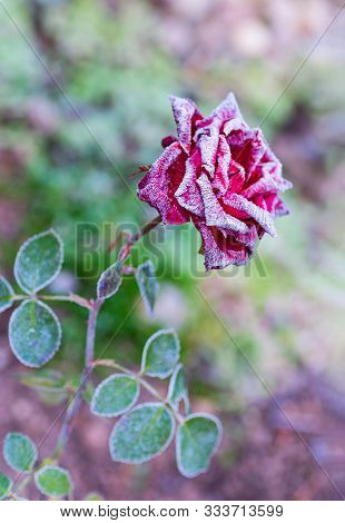Blooming Red Rose Covered With Hoarfrost After The First Autumn Frost.