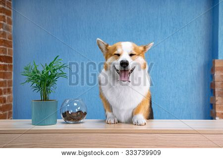 Cute Ginger And White Dog Of Welsh Corgi Pembroke Breed Sits On The Desk Of Reception. Funny Face Ex