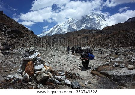 Sagarmatha national park, Nepal - May 22, 2019: Everest trek. Yak caravan carrying down expedition load from Everest base camp in the late of may. Trail between Gorakshep (5140 m) and Lobuche (4910 m)