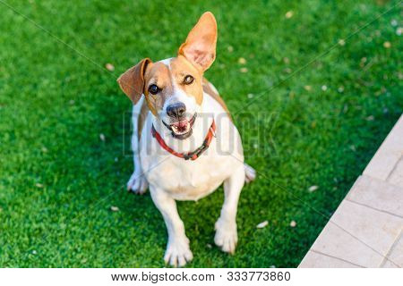 Dog Playing Outside Smiles. Jack Russel Terrier Pet Looking At The Camera. Close-up Of A Young Dog P