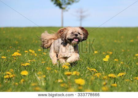 Pretty Little Lhasa Apso Running In The Garden Through A Field Full Of Buttercups