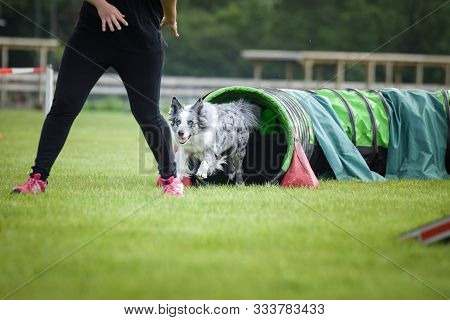 Dog Border Collie In Agility Tunel. Amazing Day On Czech Agility Competition. They Are Middle Expert