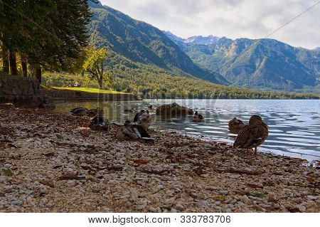 A Group Of Wild Ducks Are Resting At The Bank Of Bohinj Lake. Picturesque Autumn Landscape View Of B