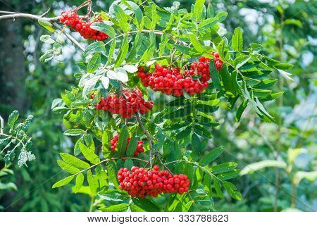 Rowan Berries, Sorbus Aucuparia, Tree Also Called Rowan And Mountain Ash.