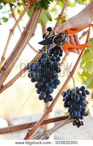 Man Hand With Scissors Cutting Grapes Bunches In Grape Harvesting Time For Food Or Wine Making. Cabe