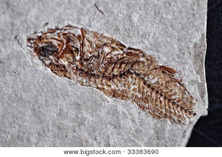 Fossil Fish Skeleton