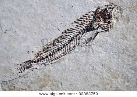 Sarmatian fossil fish skeleton with bone details poster