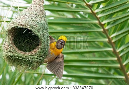 Baya Weaver Sitting On Its Nest Making A Call