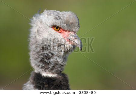 Nahaufnahme von einem Wehrvogel (Chauna Torquata)