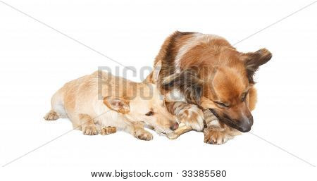 Little Dog Is Stealing A Bone From A Big Dog