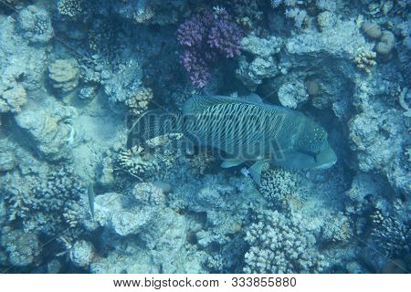 Napoleon Fish Swims Among Corals In The Red Sea, Egypt