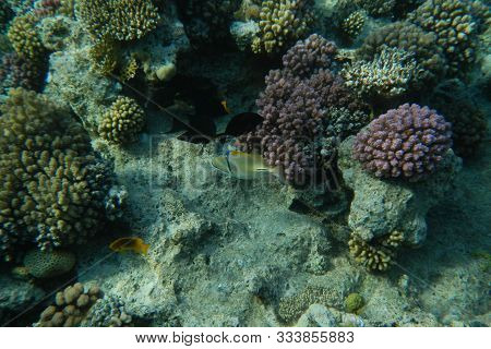 Picasso Fish Swims Among Corals In The Red Sea, Egypt