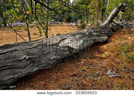 Laying Down In The Woods - Hollow Log And Forest Scene At Scott Pass Trailhead - Near Sisters, Or