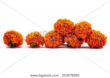 Pretty Orange-colored Marigold Flowers Or Tagetes Flowers Isolated On White Background.horizontal Sh