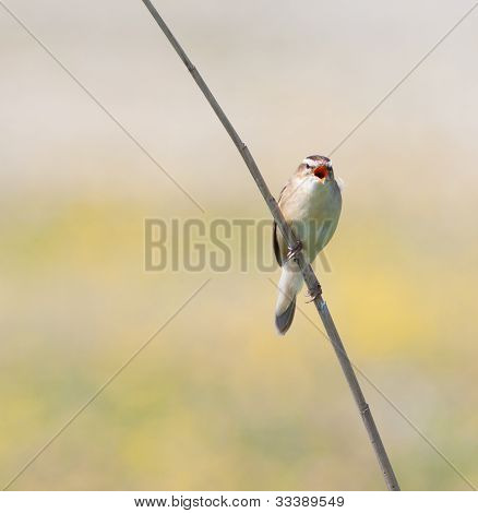 Sedge Warbler (acrocephalus Schoenobaenus) Singing