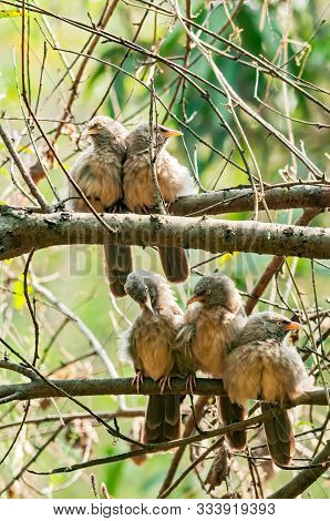 A Busy Group Of Jungle Babblers On A Tree