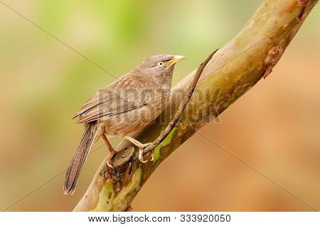 Jungle Babbler Sitting Alone On A Tree