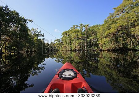 Summer Kayaking In Fisheating Creek, Florida Amidst Cypress Trees Reflected In Calm Water Under Clea