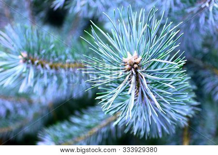 Spruce Branch With Sharp Spruce Needles On Background Of Other Spruce Branches As Christmas Backgrou