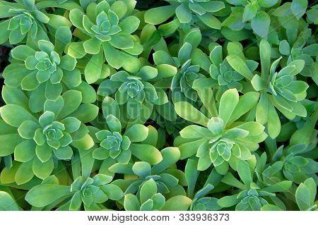 Succulents Plants, Top View. Aeonium Lindleyi Plants.succulent Plant For Landscape Design. Green Pat