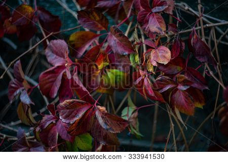 Red Leaves On Wild Grape Plant