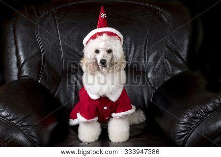Beautiful, Elegant, White Poodle Sitting On Black Sofa  With Christmas Hat