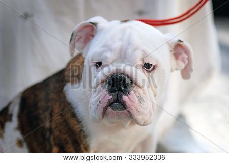 English Bulldog Is Sitting, Looking Into The Frame With Tired Eyes. The Dog Is White With A Large Br