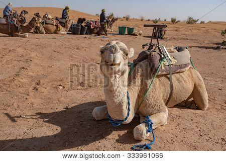 Camel In Sahara Desert, Morocco. Camels Dromedary Resting Lying On The Sand.