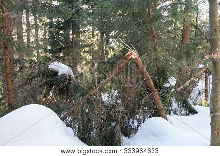 Damaged Wood Due To Kinked Trees - Forest Damage Due To Snow Load And Storm