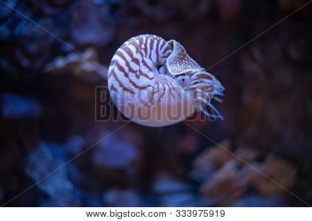 Nautilus swimming in an aquarium