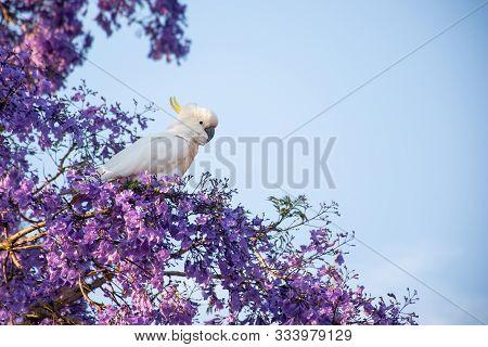 Sulphur-crested Cockatoo Seating On A Beautiful Blooming Jacaranda Tree. Urban Wildlife. Australian