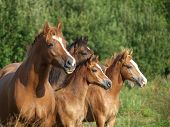 A herd of Welsh Ponies in a meadow poster