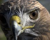 Red Tailed hawk outdoors staring intently one eye in focus poster