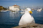 Catalina island casino and a curious seagull. poster