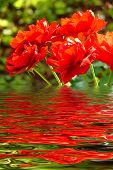 Beautiful red roses reflection in rippled water poster