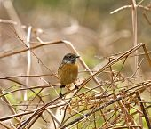 Small bird Common Stonechat perched on dry bracken poster