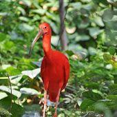 Scarlet Ibis (Eudocimus ruber) red tropical bird poster
