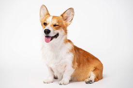 Funny Dog (puppy) Breed Welsh Corgi Pembroke Sit And Give A Wink On A White Background. Not Isolate