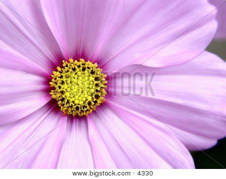 Rosa Cosmo-Blume