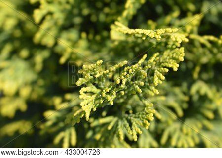 Hinoki Cypress Aurora - Latin Name - Chamaecyparis Obtusa Aurora