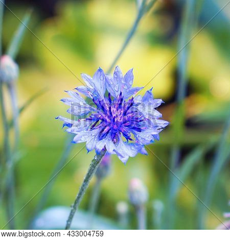 Blue Cornflower Flower In The Garden On A Natural Background. Selective Focus