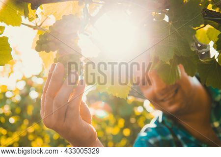 Close Up Of Hands Of Male Farmer Winemaker Touching Vine Grapes. Sunny Summer Day, Beef Crop View In