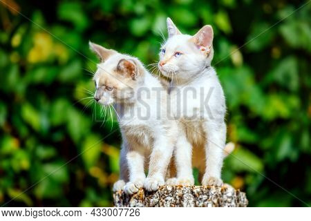 Two Small White Kittens Sit On A Wooden Stump On A Sunny Summer Day. Portrait Of Village Kittens. Cu