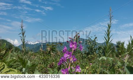 A Bright Lilac Wildflower Grows In A Meadow Among Green Grass. Delicate Inflorescences Are Located O